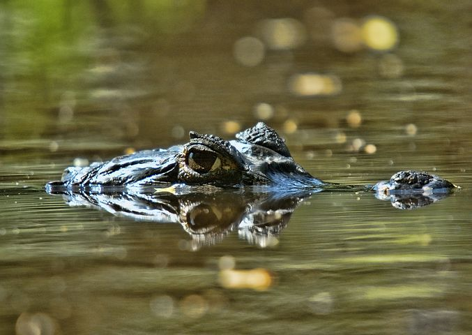 orinoco-crocodile-609166__480